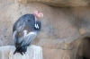 03_californische_condor_IMG1303.jpg
