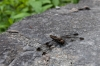 10_Finger_Lakes_0150_dragonfly.jpg